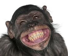 Close Up Of A Chimpanzee,portrait Of Monkey,crazy Fun Smile Monkey.