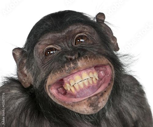 close up of a chimpanzee,portrait of monkey,crazy fun smile monkey. - fototapety na wymiar