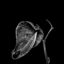 Opened Seedpod On Black Background