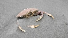 Dead Crab In The Sand On Ocean Shore