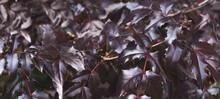Purple Bush Leaves Close. Nature Spring Background. Banner