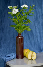 Still Life Phlox White In A Brown Clay Bottle, Three Yellow Apples On A Blue Background From A Scarf, A Reflechion In The Table Top. Flower, Spring, Bouquet, White, Vase, Nature, Apple, Still Life.
