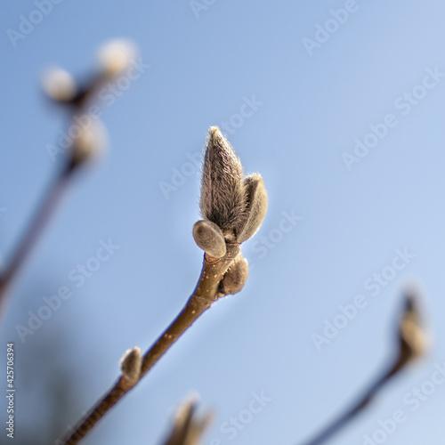 Fototapeta Wiosna budzi do życia rośliny, pąki na tle błękitnego nieba obraz
