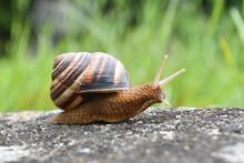 Big Snail In Shell Crawling On Road. Helix Pomatia Also Roman Snail, Burgundy Snail, Edible Snail Or Escargot