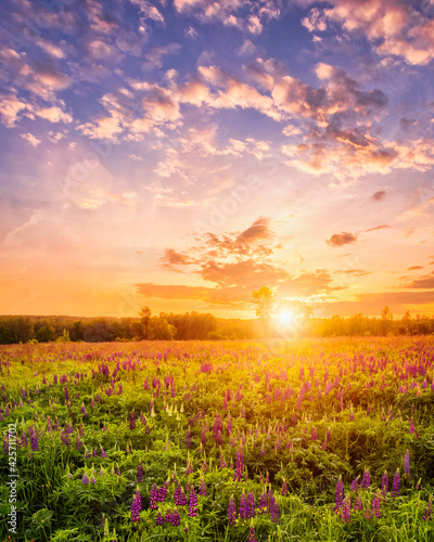 Fototapeta Sunset or sunrise on a field covered with flowering lupines in spring season with fog and cloudy sky. obraz