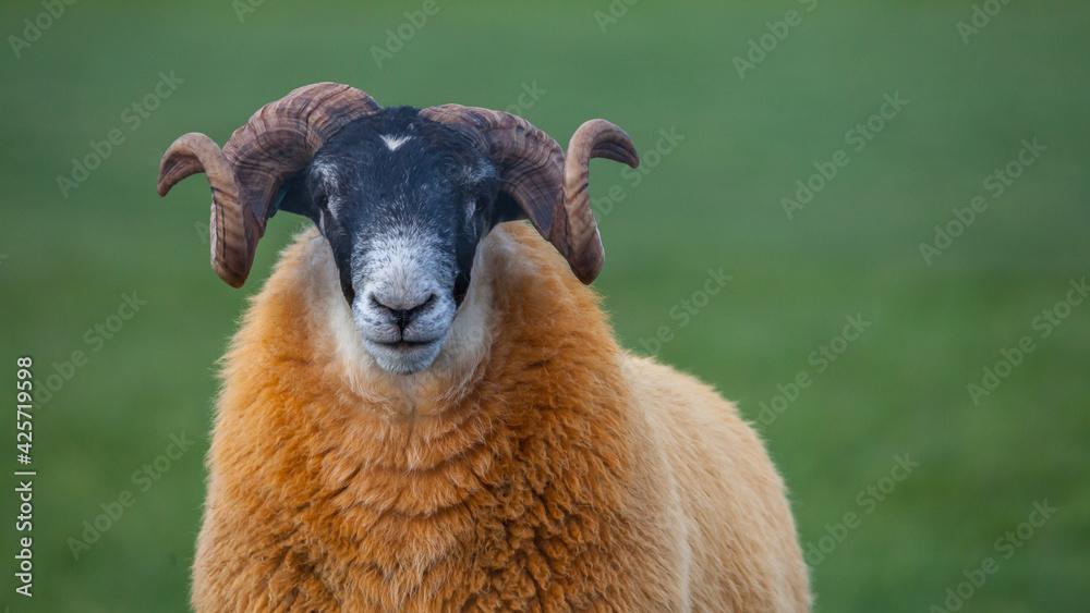 Fototapeta Portret owcy z kreconymi rogami