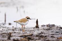 Little-ringed Plover On The Lake Shore , Small Shorebird