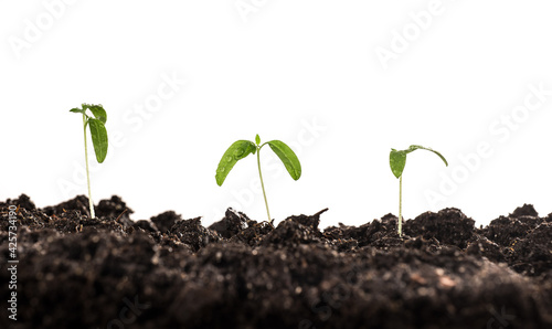 Fotografia small tomato seedlings planted in the soil