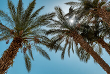 Palm Trees Against The Blue Sky On Sunny Day In Tropical Beach. Summer Vacation And Tropical Beach Concept.