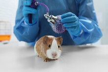 Scientist With Guinea Pig And Perfume In Chemical Laboratory, Closeup. Animal Testing