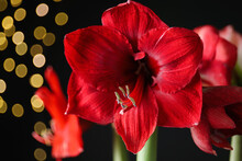 Beautiful Red Amaryllis Flowers On Black Background, Closeup. Bokeh Effect