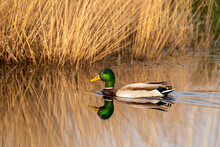Green Duck Swims In A Lake With Reeds On The Shore. Male Duck Has Beautiful Plumage, A Green Head, White Neck Band And Dark Brown Breast