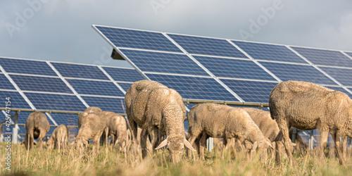 Obraz na plátně solar power panels with grazing sheeps - photovoltaic system