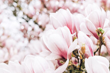 Pink Magnolia Tree With Blooming Flowers During Springtime