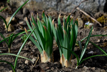 Exotic Looking Tubers Of Tall Flowers Of Prairie Origin Grow In The Flowerbed. Cosmic-looking Sprouting Buds And Yucca-like Leaves Grow Out Of The Ground As Early As March