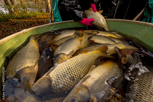 Photo Autumn harvest of carps from fishpond to christmas markets in Czech republic