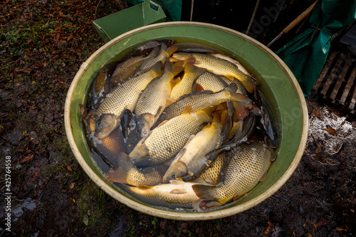 Fotografia Autumn harvest of carps from fishpond to christmas markets in Czech republic