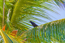 Great-tailed Grackle Bird Sits On Palm Tree Crown Mexico.
