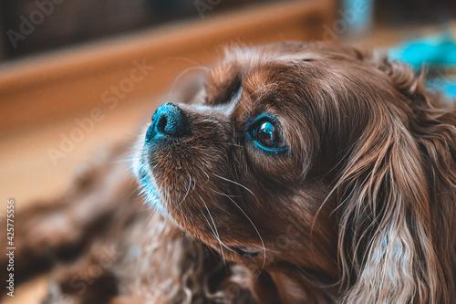 cavalier king charles spaniel dog Fototapet