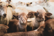 Shot Of A Herd Of Young Sheeps And Lambs