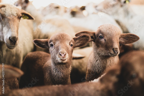 Shot of a herd of young sheeps and lambs - fototapety na wymiar