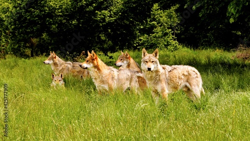 Obraz na plátně Italian Wolves