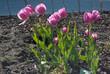 Tulpen pink - im Garten