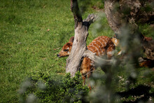 Sitatunga Or Marshbuck Cub Basks In The Sun Next To Its Mother And Hides In The Bushes From The Eyes Of Dangerous Predators. Tragelaphus Spekii Endangered Antelope Species
