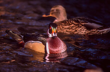 Wood Duck On Water