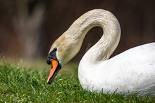 A Wild White Mute Swan With Orange Beak Lying Down Pecking At Green Grass. Blurry Brown Background. Sunny Spring Day.