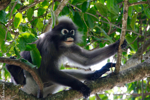Fototapeta premium white tailed macaque