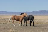 Wild Horse Stallions in Spring in the Utah desert