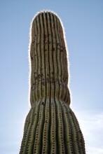 A Backlit Saguaro Cactus Against A Blue Sky. Photo Taken In Saguaro National Park In Arizona Near Tucson. The Saguaro Is A Tree-like Cactus (Carnegiea Gigantea) And Symbol Of The American Southwest.