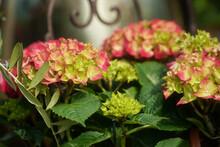 Hortensia Flower - Hydrangea Macrophylla - Beautiful Bush Of Hydrangea Flowers In A Garden