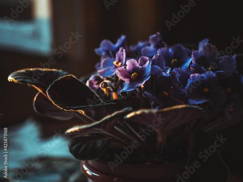 Fototapeta Violets in a pot near the window in sunset light