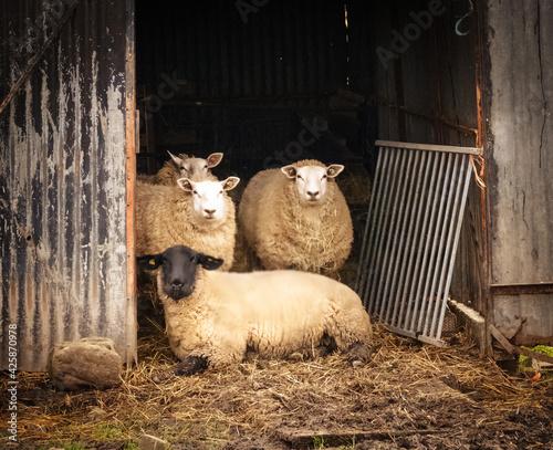 Photo sheep in barn