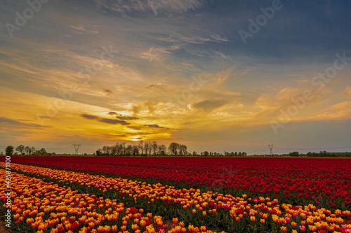 Zachód nad polem tulipanów