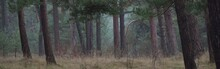 The Hills Of Dark Mystical Northern Evergreen Forest. Mighty Pine Trees In A Fog. Moss, Plants. Overcast Day. Atmospheric Landscape. Nature, Environmental Conservation. Panoramic View