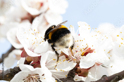 Canvas Cute little Bumble Bee collecting pollen from white apricot blossoms in full bloom