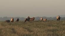 Herd Of Elk Feeding On Tall Grasses