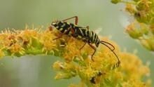 Locust Borer On Goldenrod Flowers E USA