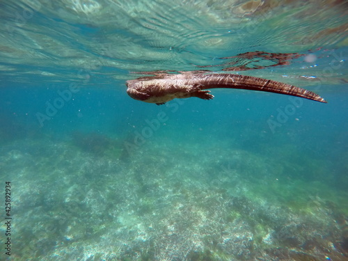 Photo Marina iguana swimming on the surface at Punta Espinosa, Fernandina Island, Gala