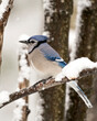 Blue Jay Photo. Perched on a branch in the winter season with falling snow and a blur background in its environment and habitat displaying blue and white feathers. Image. Picture. Portrait.