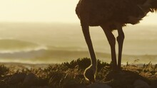 An Ostrich Eating And Waves On The Background - South Africa