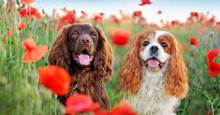 Head Shot Of Two Spaniel Purebred Dogs At The Poppy Field