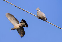 Two Eurasian Collared Doves (Streptopelia Decaocto). One Bird Sits On The Wires, The Second Bird Is In Flight