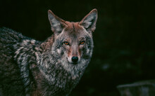 Portrait Of Coyote Staring With Orange Eyes