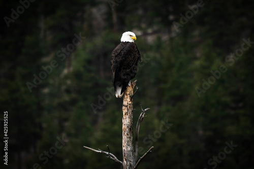 Fotografie, Tablou Bald eagle sitting on top of dead tree