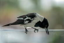 Closeup Of A Butcherbird