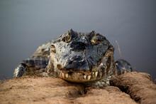 Close Up Of Wild Crocodile Head In The Brazil Pantanal